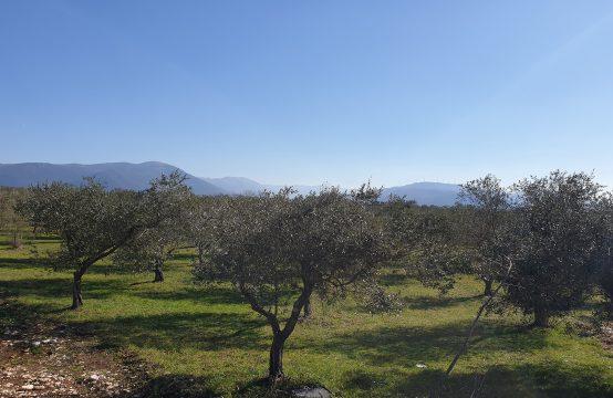 Uliveti in Via Maiella